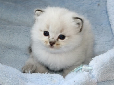 Royal Blue Chatons Ragdolls A Vendre Belgique France Chatons Ragdolls Disponibles Belgique France